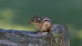 Chipmunk on a Bench