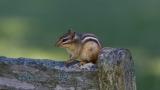 Chipmunk on a Bench