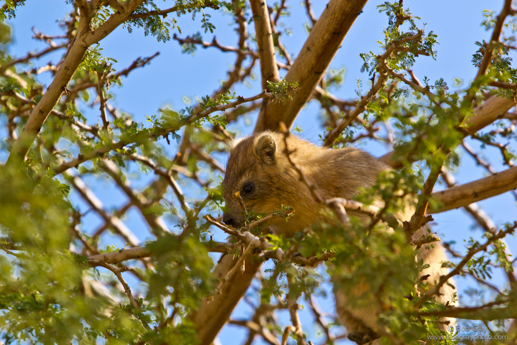 Hyrax feeding in a tree at Ein Gedi
