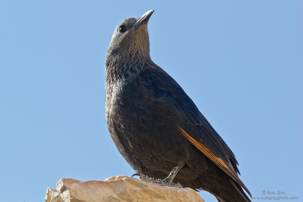 Tristram\'s Starling at Masada