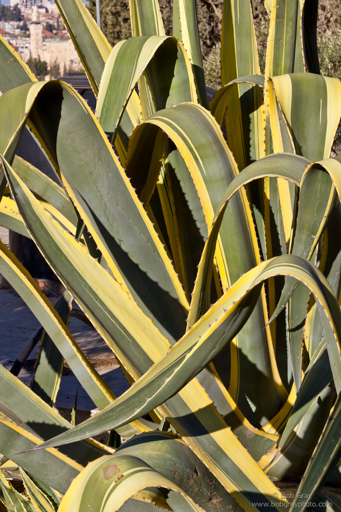An agave on the Mount of Olives