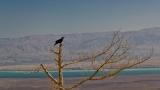 Raven at Masada