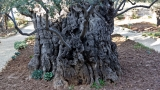 Olive tree, Garden of Gethsemene 1