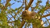 Hyrax feeding in a tree at Ein Gedi