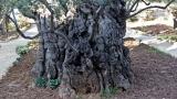 Olive tree, Garden of Gethsemene 1