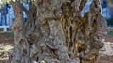 Olive tree, Garden of Gethsemene 2